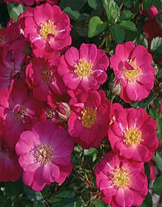 Садовые миниатюрные розы фото уход и выращивание в