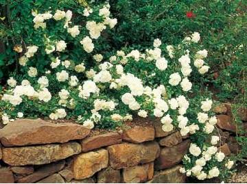 Бланка почвопокровная роза