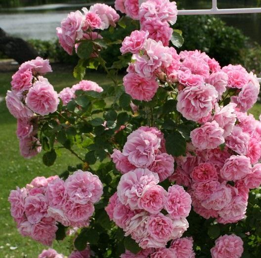 Uetersens rosenprinzessin роза